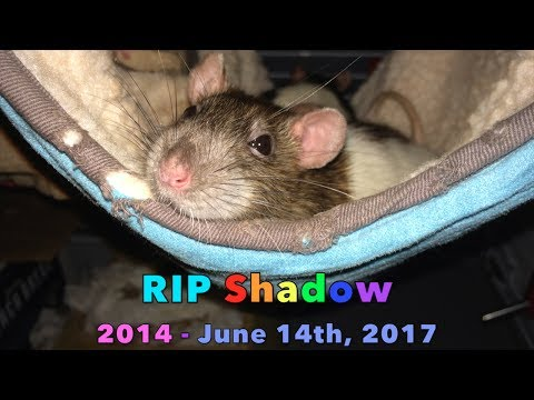 For My Heart Rat Shadow... RIP