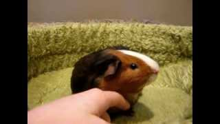 How to Treat Your Guinea Pig Topically for Mites with Ivermectin - Featuring Stanley!