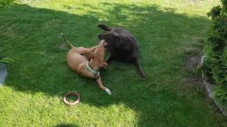 our aunt has an 11 year old brown lab girl that is still very playf...