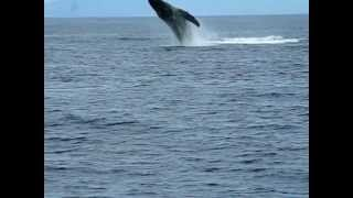 Two Humpback Whales jump near boat - Maui, Hawaii