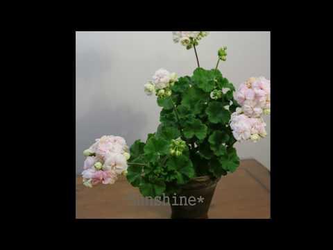 Pelargonium Viva madeleine 2018 비바 마들렌