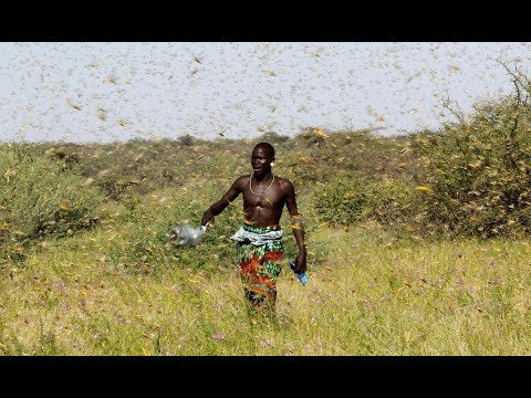 Billions of locusts swarm through East Africa after year of extreme weather