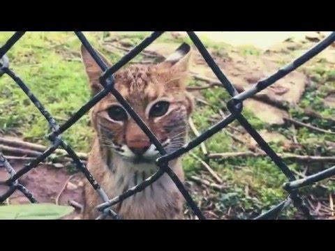 Bobcat Wildcat Exhibit at Salato Wildlife Education Center in Frankfort, Kentucky