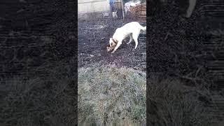 Собака против лисы