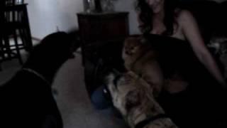 Doberman Pinscher And Presa Canario Vs Pomeranian And Chihuahua