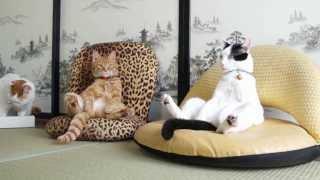 【人間?】座椅子で落ち着きすぎてる猫たちの昼下がり