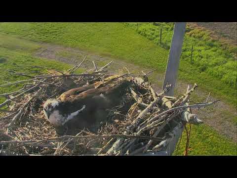 Osprey Nest - Charlo Montana Cam 06-07-2017 07:13:16 - 08:13:16