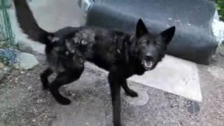 cassidy spins alaskan noble companion dog ancd