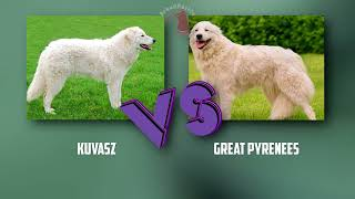 Kuvasz VS Great Pyrenees  Breed Comparison  Great Pyrenees and Kuvasz Differences