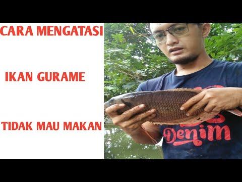 Ikan Gurame Dan Nila Dalam Satu Kolam Budidaya Ikan Nila Kumpay Youtube