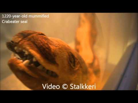 1220-year-old mummified Crabeater seal | 1080p