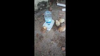 civcivlere çok basit ve maliyetsiz suluk yapımı