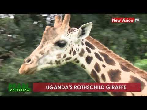 Pearl of Africa: Uganda's Rothschild giraffe
