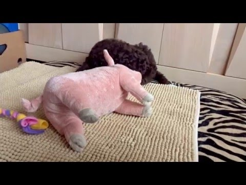 8 weeks old Barbet puppy playing with her new toys