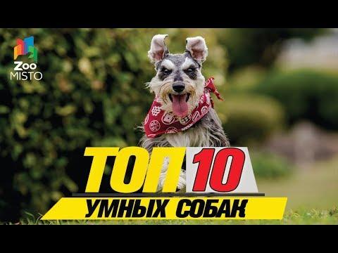 Топ 10 умных собак\Top 10 smart dogs
