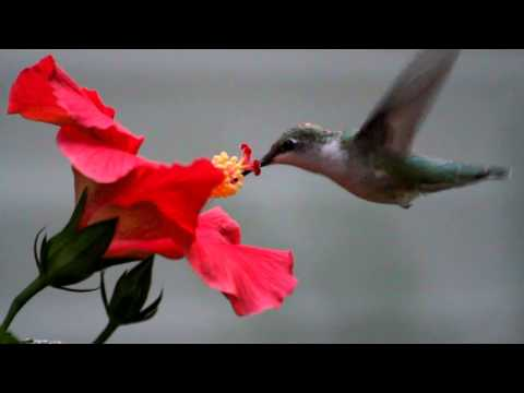 Hummingbird eating from a flower