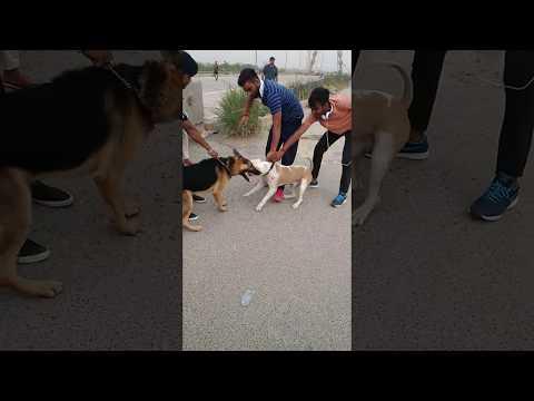 pitbull attack' on german shepherd