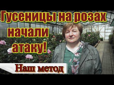Гусеницы на розах.