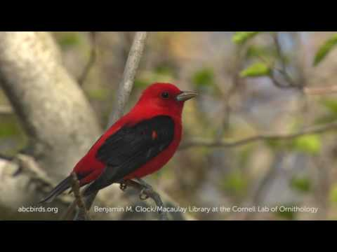 Image of: Bird American Bird Conservancy Scarlet Tanager