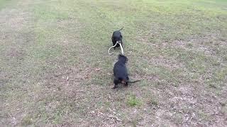 Dachshunds Killing Snake