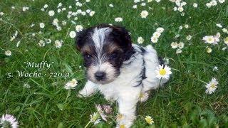 Biewer-yorkshire-terrier Welpen  5. Woche (m-wurf)