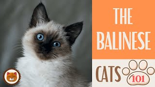 Cats 101  BALINESE CAT  Top Cat Facts about the BALINESE #KittensCorner