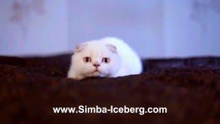 Скоттиш-фолд лиловый серебристый табби поинт кошка Diana of Simba Iceberg (SFS cs 21 33)