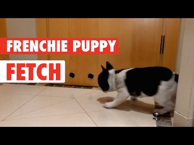 Frenchie Puppy Loves Playing Fetch