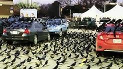 Thousands of black birds - aka grackles - take over parking lot in Houston