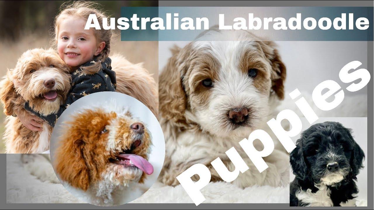 Australian Labradoodle Puppies - Born 6-13-21