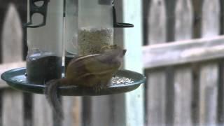 Cute Chipmunk Eating Seeds On Platform Bird Feeder In Lenexa, Kansas