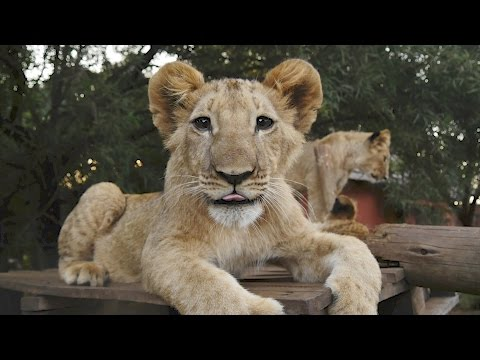 Living With Big Cats 2017