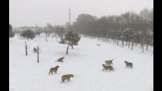 Амурские тигры устроили охоту за шпионом квадрокоптером и разбили его(На видео запечатлело, как несколько упитанных больших кошек в течение некоторого времени гоняются за назой..., 2017-02-23T18:30:15.000Z)