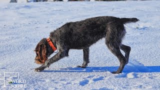 cesky fousek north america   An affectionate hunting dog!