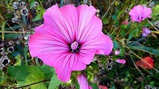 Лаватера. Цветы Лаватеры. Красивые Цветы. Футаж Цветы. Футажи для видеомонтажа
