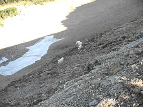 Jewel Basin Kalispell, Montana Mountain Goats