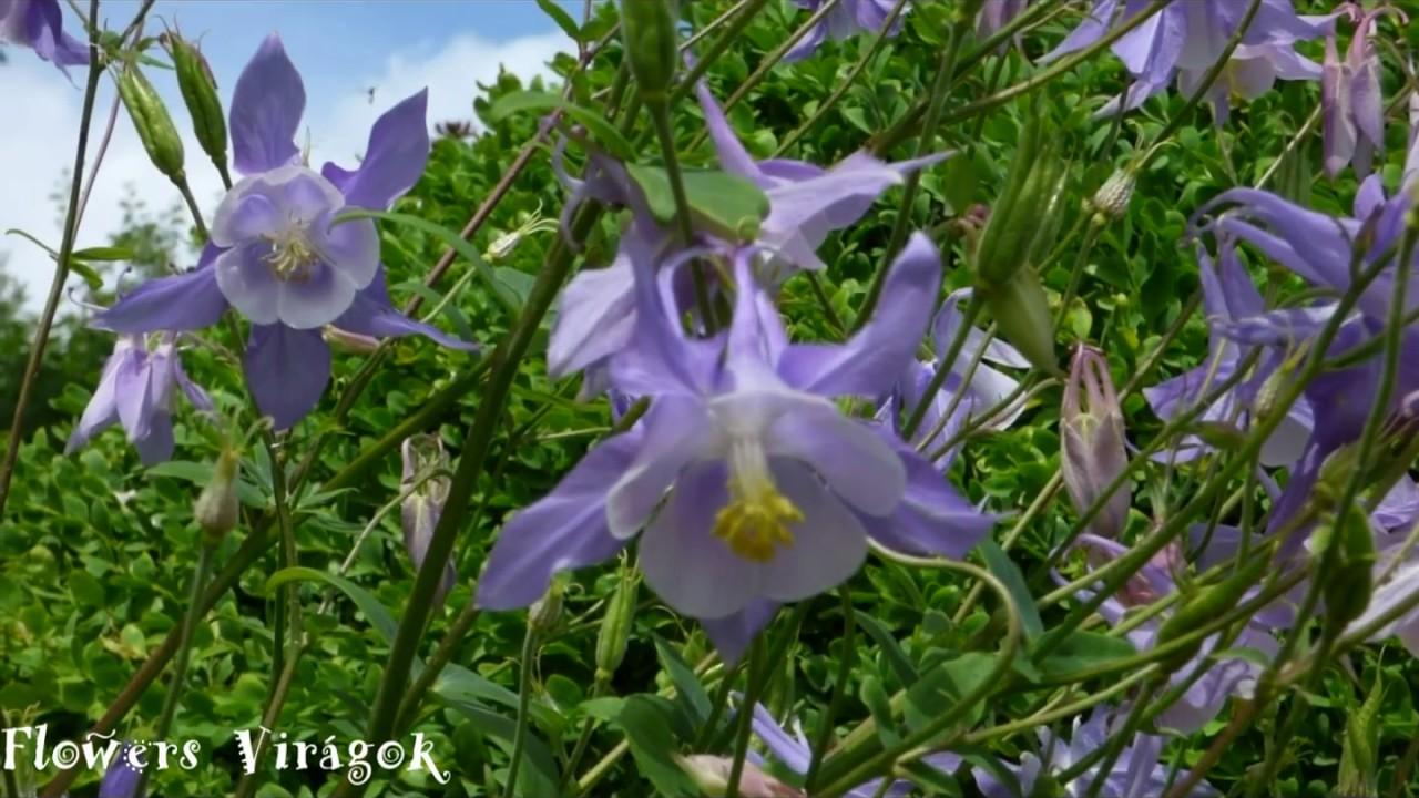 Grannys bonnet columbine flower aquilegia vulgarisharanglb vagy grannys bonnet columbine flower aquilegia vulgarisharanglb vagy sasf izmirmasajfo Images