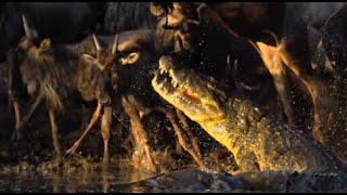 Crocodiles Vs Wildebeest - Slow Mo!
