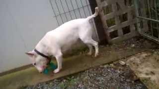 Demoiselle, Croisée Bull Terrier à L'adoption, Association Lisa