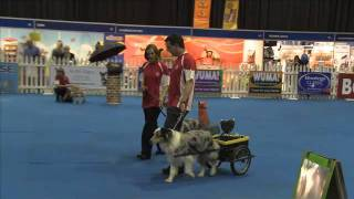 Dog Carting Episode 1: Burmese Mountain Dogs, Jack Russels, Pugs And Australian Sheperds