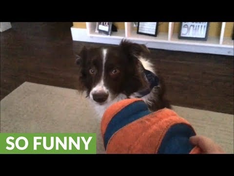 Border Collie unsure about new toy, refuses to touch it