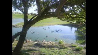 Canada geese at Trilogy, Rio Vista, California