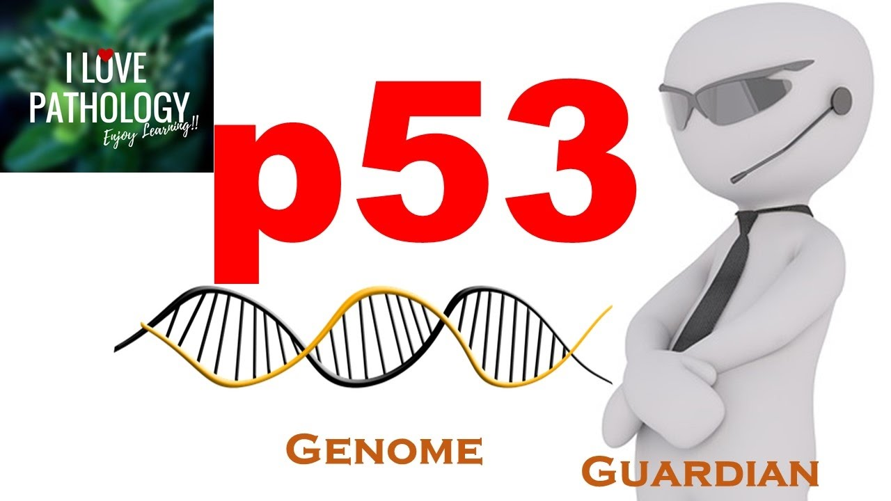 p53 guardian of genome [cancer research 60, 6788-6793, december 15, 2000] review oncogenic mutations of the p53 tumor suppressor: the demons of the guardian of the genome.