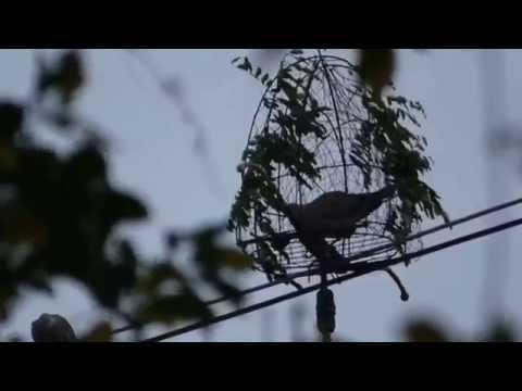 ต่อนกเขาใหญ่ เพนียดเสือตบตูด
