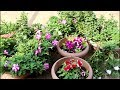 [English CC] Four mistakes to avoid in Petunia Planting