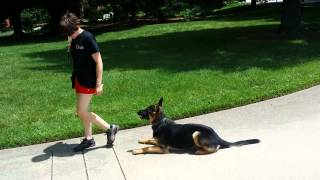 "German Shepherd ""volt"" Obedience Protection Trained Dog For Sale"