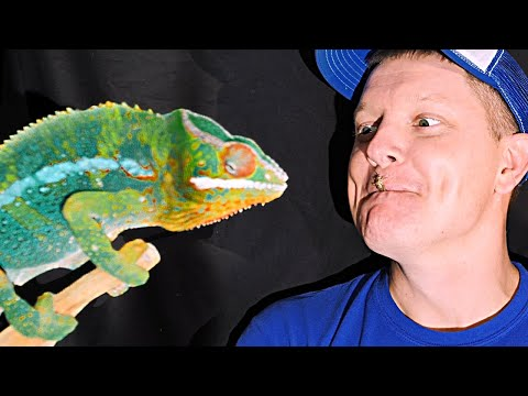 How Do Chameleon Tongues Work?  (In Slow Motion) | Smarter Every Day 180