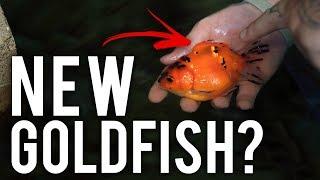 Breeding Goldfish in Hawaii : Mr. Brown's Goldies