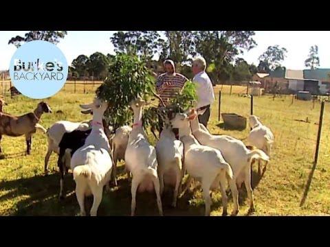 Burke's Backyard, Dairy Goats Road Test