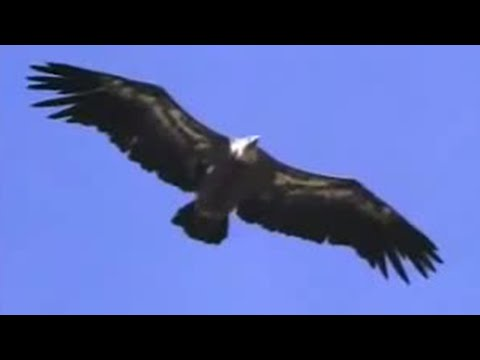 Birds of prey gliding high above lakes and mountains in Spain - David Attenborough  - BBC wildlife